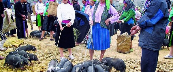 Local people selling small pigs in Bac Ha market