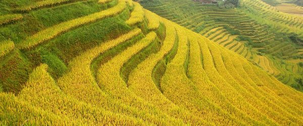 Sapa in autumn with yellow terraced fields