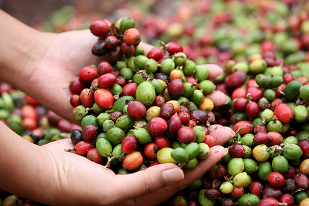 Laos is considered as the best place to plant coffee in Southeast Asian