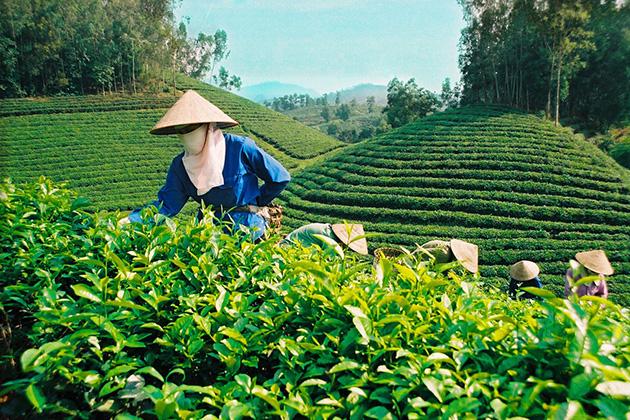 Tea variety in Vietnam