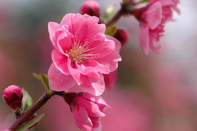 blossom tet holiday