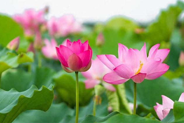 Vietnamese Cultural Symbol Lotus Flower